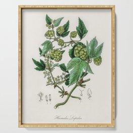 Hop (Humulus lupulus) illustration from Medical Botany (1836) by John Stephenson and James Morss Chu Serving Tray