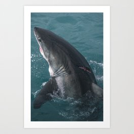 Great White Shark Wounded Art Print