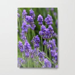 Lavender -1- Metal Print