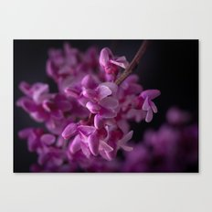 Red Bud Blossoms  Canvas Print