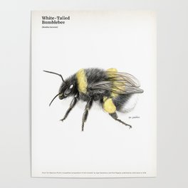 White-tailed bumblebee, poster #3 Poster