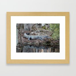 Alligator Blending In Framed Art Print