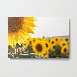 Sunflower's Season (I) Metal Print