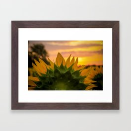 Sunflower at Sunrise Framed Art Print