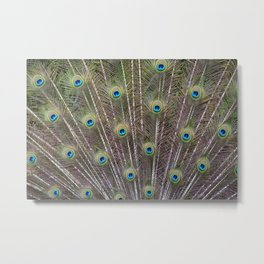 Pretty Peacock Feathers Metal Print