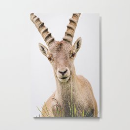 Photo of a Gems/Chamois in the Alps, Suisse/Switzerland   Fine Art Colorful Travel Photography    Metal Print