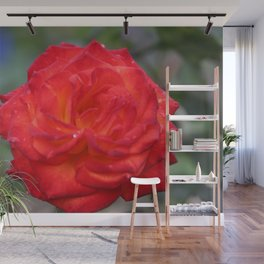Dew Drops on a Rose Wall Mural