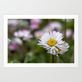 Colourful daisy field close up Art Print