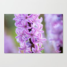 Hyacinthus orientalis 645 Canvas Print