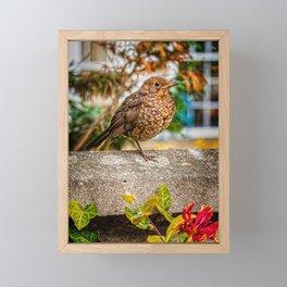 Juvenile Blackbird Resting Framed Mini Art Print