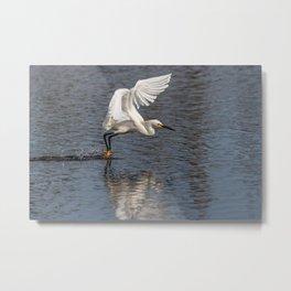 Snowy Egret Water Landing Metal Print