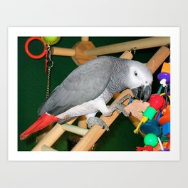 Doobie the parrot Art Print