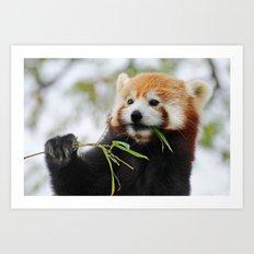 Red Panda 2 Art Print