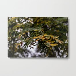 Autumnal leaves on tree Metal Print