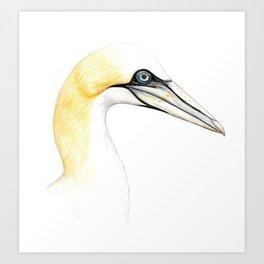 Northern gannet Art Print