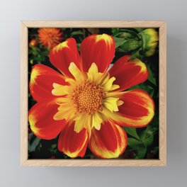 Sunburst Zinnia Framed Mini Art Print