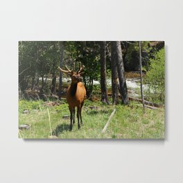 Rocky Mountain Wapiti Metal Print