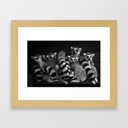 Gang Of Ring-Tailed Lemurs Framed Art Print