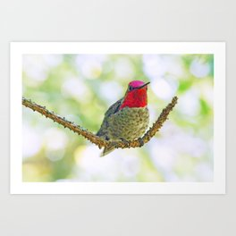 Anna's Hummingbird on a Twig Art Print