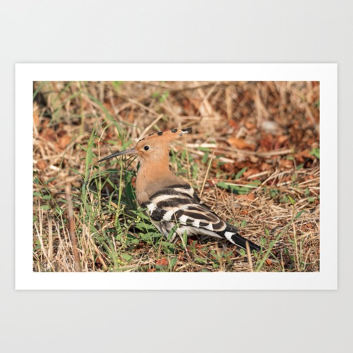 Eurasian hoopoe posed in the grass of a meadow Art Print