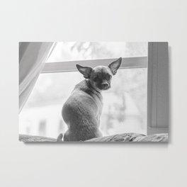 Chihuahua in the Window Metal Print