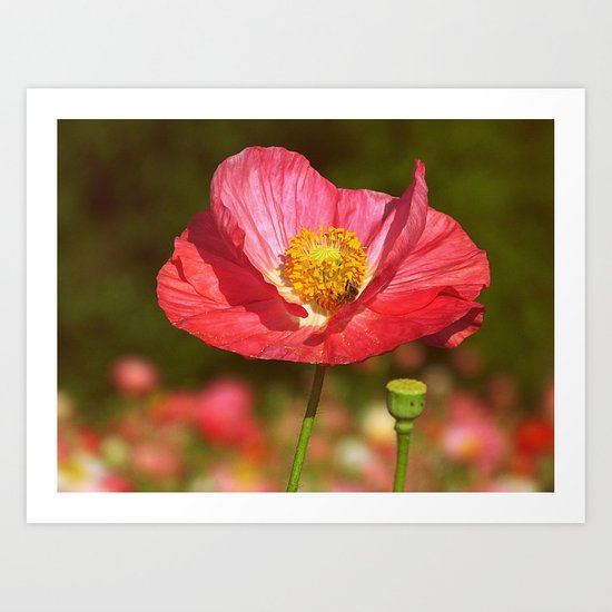 Poppy Buzz Red Poppy flower with honey bee botanical nature print Art Print