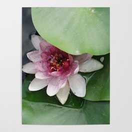 Beautiful Lotus Flower Poster