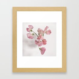 Sweet Pea Flower with Pink Petals Framed Art Print