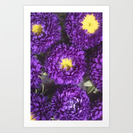 Bright Purple and Yellow Mum Flowers Art Print