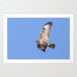Common Buzzard (Buteo buteo) in flight Art Print