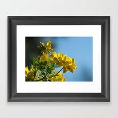 Yellow Spring (coronilla) 11 Framed Art Print