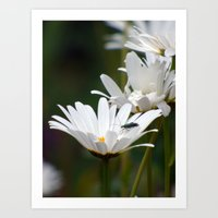 daisies Art Prints featuring Daisies by Lynn Bolt