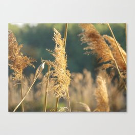 stay golden 2 Canvas Print