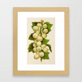 Canadian Horticulturalist 1888-96 - Downing Gooseberries Framed Art Print