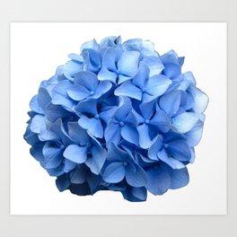 Nantucket Blue Hydrangea Flower Art Print