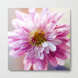 Padre Cerise Belgian Mum Alternate Focus Metal Print