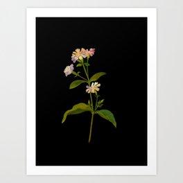 Saponaria Officinalis Mary Delany British Botanical Floral Art Paper Flowers Black Background Art Print
