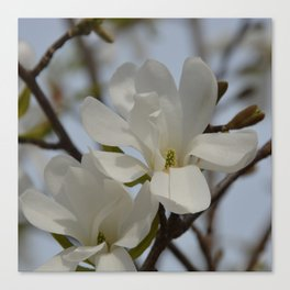 White Star Magnolia Blooming in the Spring Canvas Print