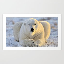 Majestic Giant Adult Polar Ice Bear Sitting On Cold Ground Close Up Ultra HD Art Print