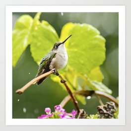 Hummingbird Shower Art Print