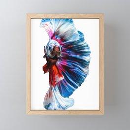 Magnificent Betta Splendens Freshwater Fish Framed Mini Art Print