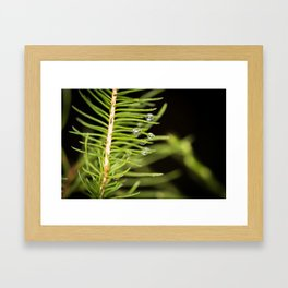 Spruce branch with drops Framed Art Print
