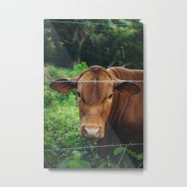 Brown Senepol Cow Portrait - Color Metal Print