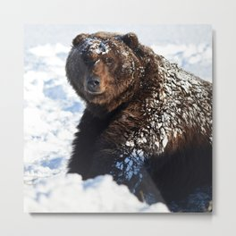 Alaskan Grizzly in Snow Metal Print