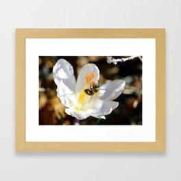 Bee on a Spring Crocus 6 Framed Art Print