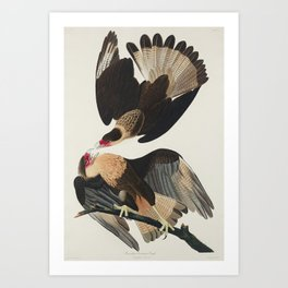 Brasilian Caracara Eagle from Birds of America (1827) by John James Audubon etched by William Home L Art Print