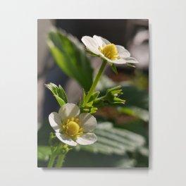 Strawberry flowers Metal Print