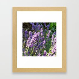 Bumblebee 10 on lavender ahem honey bee actually Framed Art Print
