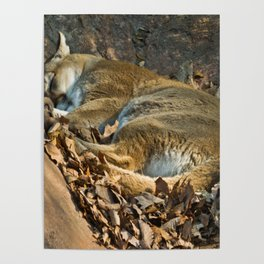 Sleeping Mountain Lion Poster