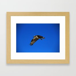 Osprey in Flight II Framed Art Print